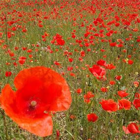 Red meadow by Nat Bolfan-Stosic - Landscapes Prairies, Meadows & Fields ( field, red, meadow, flowers, spring )