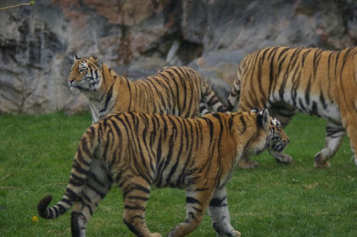 Siberian Tigers Wallpapers