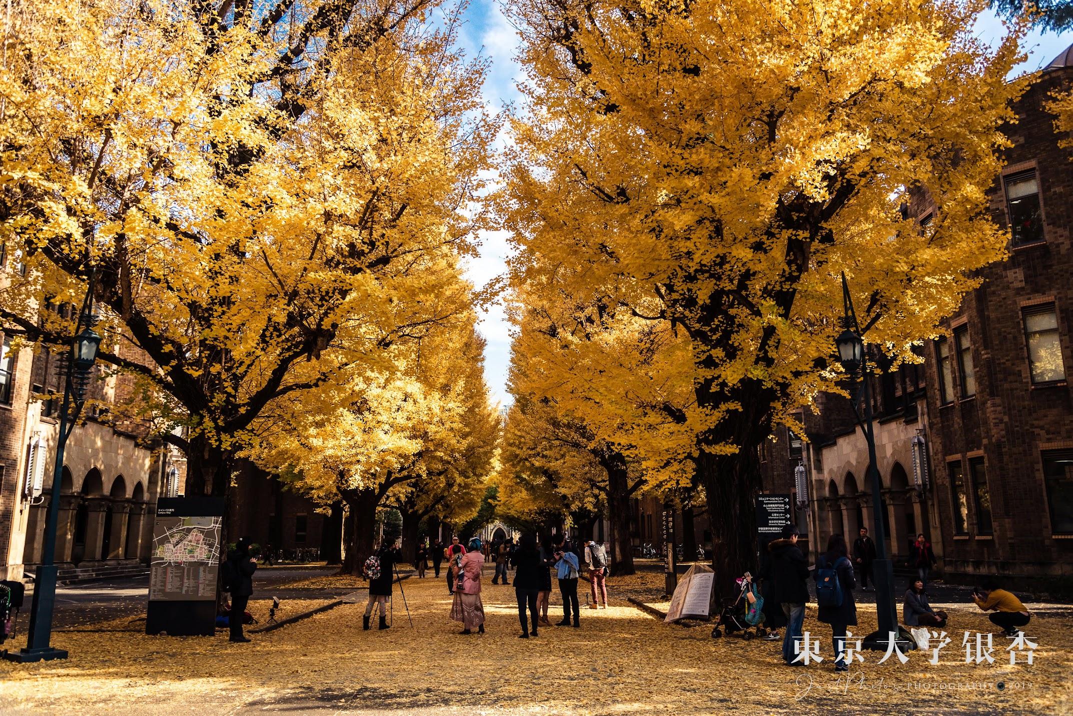 從東京大學本鄉校區門口側往安田講堂拍攝的銀杏大道,是我覺得最佳的取景角度。