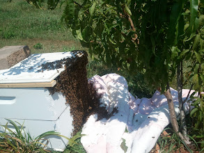 Photo: First Attempt at catching a swarm of bees