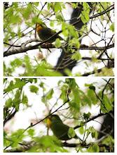 Photo: 撮影者:佐藤サヨ子 ソウシチョウ タイトル:小雨の中で 観察年月日:2015年4月14日  羽数:1羽 場所:高幡台団地緑地 区分:行動 メッシュ:武蔵府中3H コメント:雲が低く垂れ込めていましたが、雨が多くウオーキングがなかなかできないので傘をポケットにいれて裏山に入りました。思ったより鳥はいましたが、途中から降り出してしまいこの鳥も小雨の中で鳴いていました。写真はあまり良くありませんが何の鳥川わかるので。