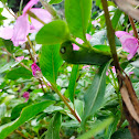 Oleander hawkmoth caterpillar