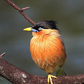 Brahminy starling by Nelson Thekkel - Animals Birds (  )