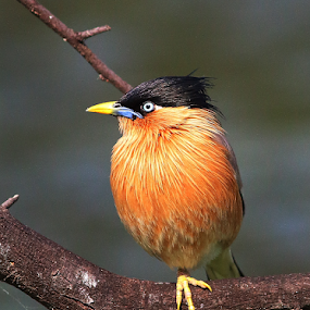 Brahminy starling by Nelson Thekkel - Animals Birds (  )