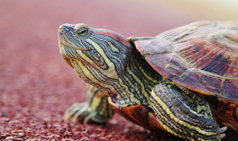 Turtle #2 by Koh Chip Whye - Animals Other ( , sea creatures, underwater life, ocean life )