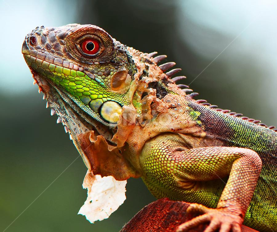 Iguana by Ajar Setiadi - Animals Reptiles