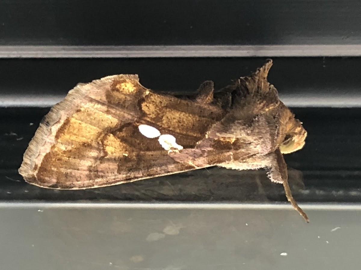Golden twin-spot moth