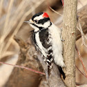 Downy Woodpecker (Adult Male)