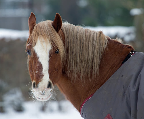 Lone Horse by Gordon Bishop - Animals Horses ( face, rug, winter, cold, snow, horse, white, brown, nose, , #GARYFONGPETS, #SHOWUSYOURPETS )