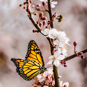 Monarch & Blossom by Loredana  Smith - Nature Up Close Flowers - 2011-2013 ( butterfly, wing, colorful, backgrounds, beauty, insect, pretty, close-up, nature, delicate, color, fly, wings, bug )