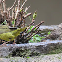 House Finches and MacGillivray's Warbler