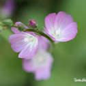 Southern Checkerbloom