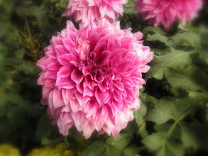 Photo: Day 190 - Huge Dahlias in Zhongshan Park