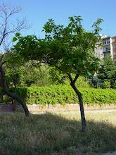 """Photo: Catalpa o árbol de los """"cigarros"""""""