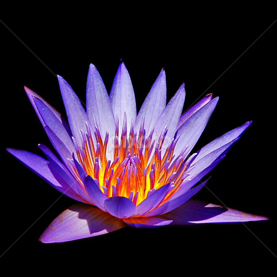 Lotus again by Chev Sheva Chenko - Nature Up Close Flowers - 2011-2013