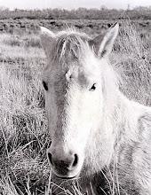 Photo: Cavallo della Camargue