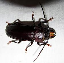 Photo: Mallodon (longhorn beetle)