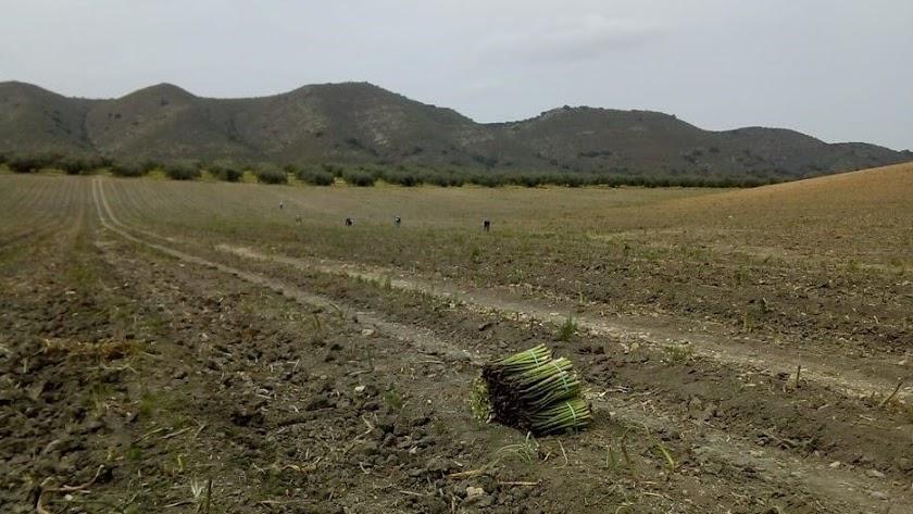 Los agricultores del espárrago alertan de la falta de mano de obra.