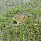 American Bullfrog (Female)