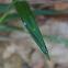 Prodasineura laidlawii