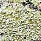 False bitter-wart lichen