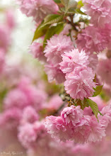 Photo: More fluffy Weeping Cherry blossoms!  For +GardeningWednesday curated by +Grant Meyer and .... what???...... Jan appears to have deleted her profile. Does this theme still exist?! What a shame. :-( #cherryblossom #gardeningwednesday #blossom