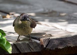 Photo: Turdoide cabecinegro (Turdoides reinwardtii)