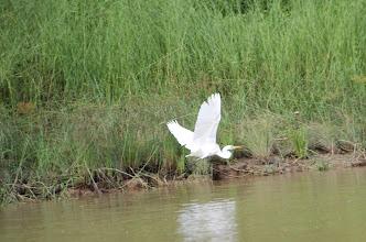 Photo: Egret in flight!