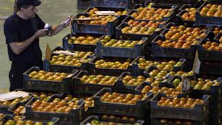 Baja el tomate tanto en volumen como en precios