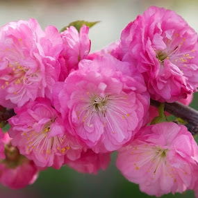 Plum Blossoms by William Tan - Flowers Tree Blossoms ( spring flowers, tree blossoms, pink, plum blossoms, garden )