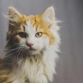 Kitty by Jeffrey Zoss - Animals - Cats Portraits ( orange, cat, cute, kitty )