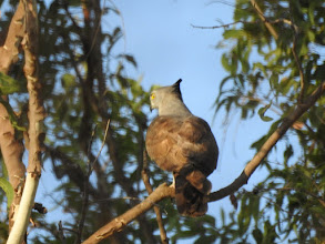 Photo: Pacific Baza on the Bamboo Walk at Mary River Wilderness Retreat