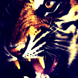 Tiger Live Wallpaper APK Download For Android