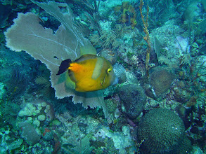 Photo: Whitespotted Filefish (orange phase)