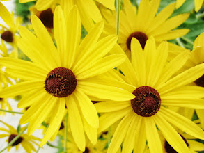 Photo: Bright yellow flowers at Cox Arboretum of Five Rivers Metroparks in Dayton, Ohio.