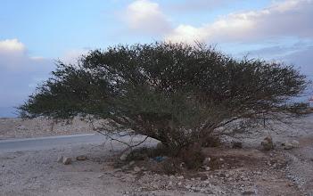 Photo: Accacia tree