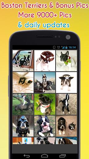 Cute Boston Terriers Wallpaper
