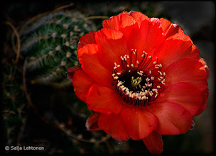 Photo: I can't wait til the cactus start to bloom this year ;) Saija Lehtonen Photography  #Photography #Nature #Flower #Red #Cactus #Arizona #Southwest #FineArt