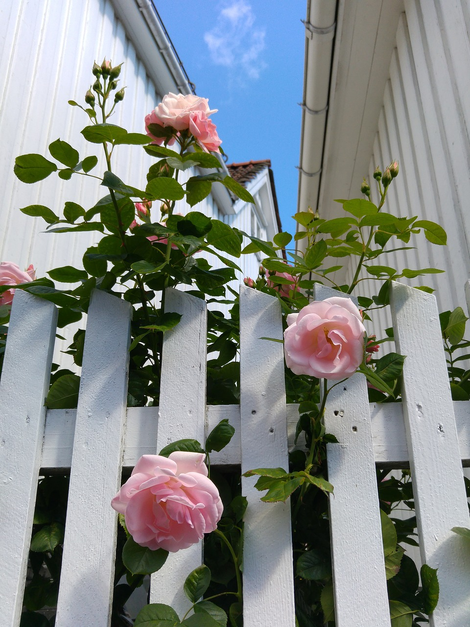 grow roses for curb appeal