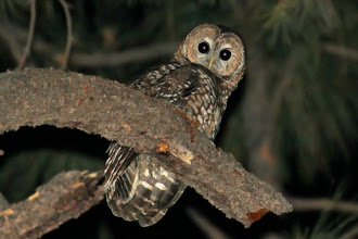Photo: Spotted Owl