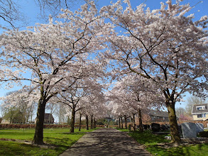 Photo: Prunusbomen, begraafplaats Westmaas