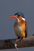 Photo: Malachite Kingfisher, Mankwe Dam,Zibulo Colliery, South Africa