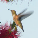 Allen's Hummingbird - female