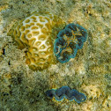 Tridacna Giant Clam