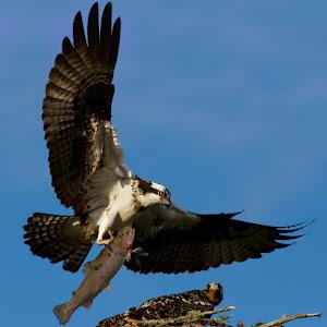 osprey-2.jpg