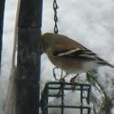 American Goldfinch, female.