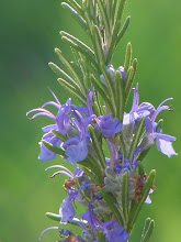 Photo: Romaní (Rosemary flower)