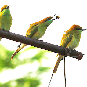 by Prakash Tantry - Animals Birds ( colorful, beautifull, group,  )