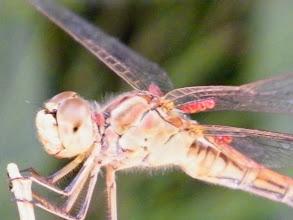 """Photo: Parasites  Un sympetrum sp. porte des parasites """"Arrenurus papillator"""" aux ailes (les petites boules rouges) - Août - Photo à l'ombre ."""