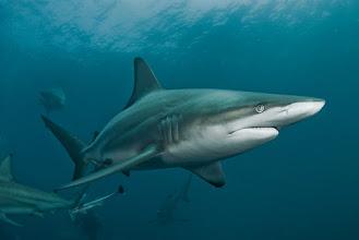 Photo: Blacktip Shark, Protea Banks, South Africa